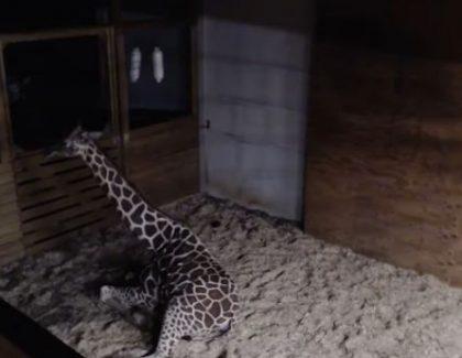 Live prenos porođaja žirafe oborio rekorde Youtubea!